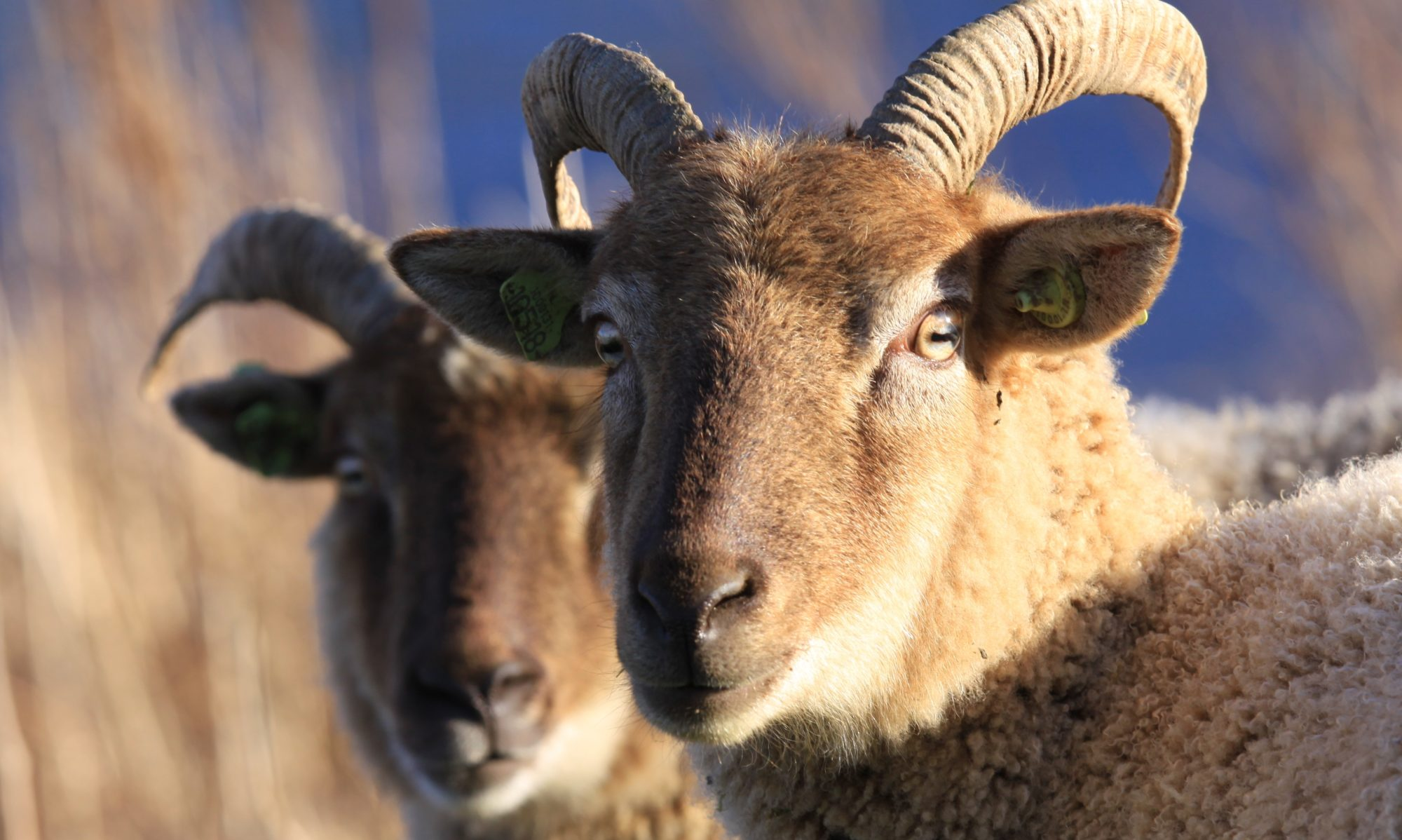 Het Castlemilk Moorit schaap
